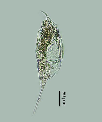 Férgek felnottkent, hogyan kell hozni Életkori diagram a helminták opisthorchiasisáról